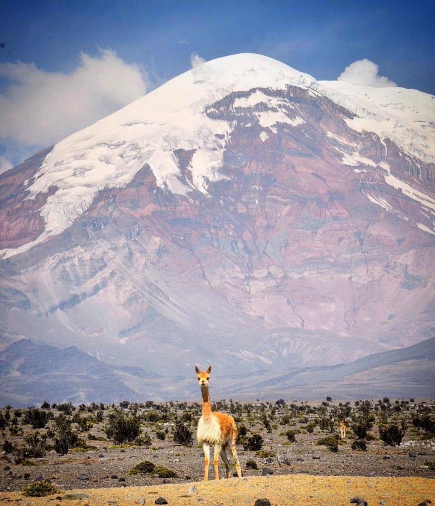 Cientos de estas vicuñas rodean el hermoso volcán Chimborazo.