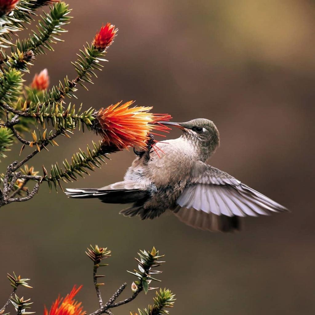 Los Andes y la Flor de la Chuquiragua