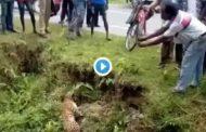 Video: Un TIGRE ataca a un Hombre.