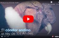 Video: El CÓNDOR está en Peligro Crítico de EXTINCIÓN.