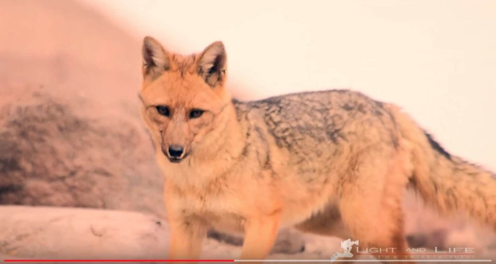 Video: El CHIMBORAZO y sus LOBOS