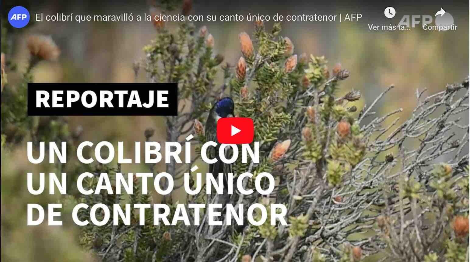 VIDEO: MUY INTERESANTE – El colibrí del Chimborazo entona las notas más agudas del mundo.